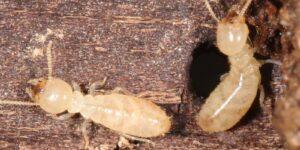 colonias de termitas