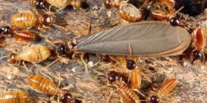 termita de la madera seca