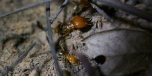 termita soldado