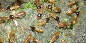 termita y carcoma